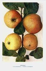 Jablka  misenske