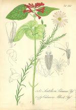 Scutellaria Lehmanni  sisak