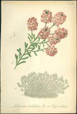 Sivutka  Aethionema cordifolium