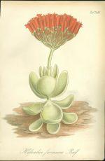 Kolopejka  Kalanchoe farinacea