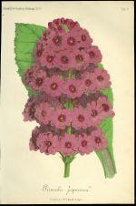 Primula japonica  Prvosenka japonska