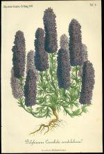 Delphinium  Stracka