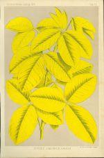 Cytisus Laburnum Aureum