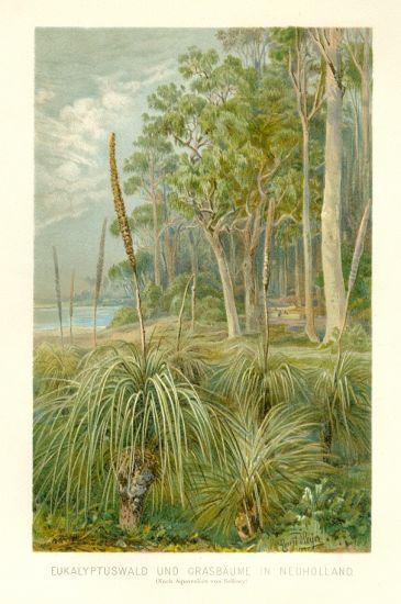 Eukalyptuswald und Grasbaume in Neuholland | antikvariat - detail grafiky