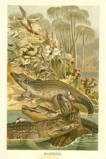 Krokodyl nilsky   antikvariat - detail grafiky