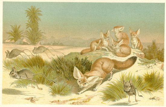 Liska s mladaty | antikvariat - detail grafiky