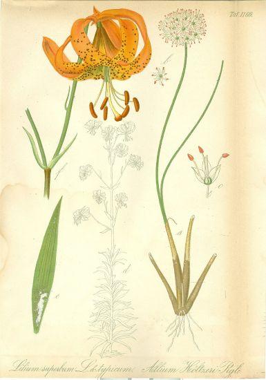 Lilie   antikvariat - detail grafiky