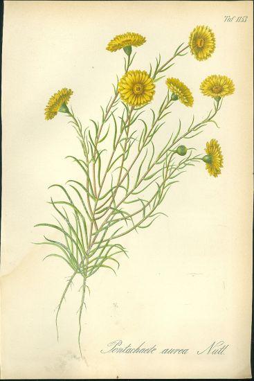 Pentachaete aurea   antikvariat - detail grafiky