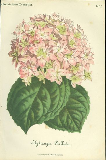 Hydrangea Stellata   antikvariat - detail grafiky
