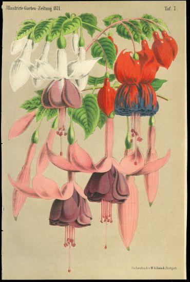Fuchsia   antikvariat - detail grafiky