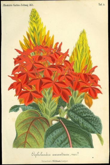 Aphelandra aurantiaca | antikvariat - detail grafiky
